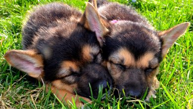 Photo of Standing Tall: 5 Facts About the German Shepherd That You Should Know About